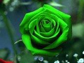 Yeşil Gül Tohumu