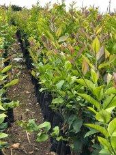 Limon Fidanı / Fidan Yetiştirme Programı-2