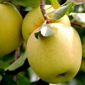 Elma Fidanı Golden +130 Cm, Saksıda 7 Yaş