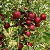 Elma Fidanı Arap Kızı +130 Cm, Saksıda 7 Yaş