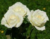 Tüplü Beyaz Renkli  Baston Gül Fidanı-2