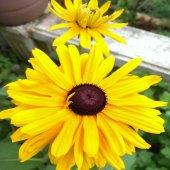 Güneş Şapkası Redbekya Çiçek Tohumu (850 Tohum)