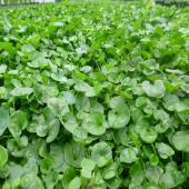 Dichondra Repens (Fare Kulağı) Çim Tohumu 1 Kg