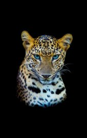 Prado Dijital Baskılı Kaydırmaz Taban Halı Tiger 80x200cm