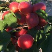 Tüplü Kırmızı Red Jewel Kayısı Fidanı Özel Üretim