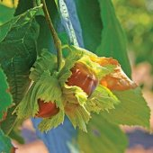 Tüplü Jumbo Meyvelil Giresun Palaz Fındık Fidanı