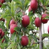 Tüplü Erkenci Galaval Kırmızı Gala Elma Fidanı