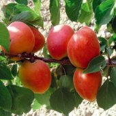 Tüplü Dev Meyveli Perfect Red Kayısı Fidanı