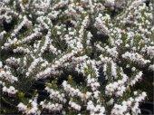 Erica darleyensis Silberschmelze Beyaz Funda çiçeği fidesi 10-30cm