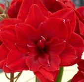 Hippeastrum Cherry Nymph Amaryllis Soğanı