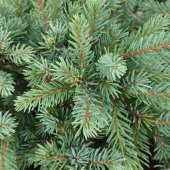 Picea Glauca Echiniformis Konik Ladin Fidanı