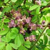 Akebia Quinata Silver Bell Pembe Çiçekli Çikolata Sarmaşığı Fidanı