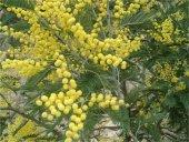 Acacia dealbata Ada Mimoza fidanı 150-180cm