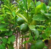 Tüplü Bodur Yediveren Limon Fidanı