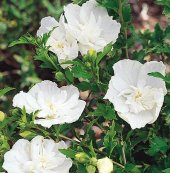 Hibiscus Syriacus White Chiffon Beyaz Gül Hatmi Fidanı