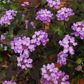 Lantana Camara Ağaç Mine Mor Çiçekli Çalı Mine Fidanı