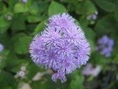 Vapur Dumanı Çiçeği Tohumu (Takribi 50 Tohum)
