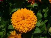 Güneş Güzeli Calendula Aynısefa Çiçeği Tohumu 50 Adet