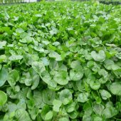 Fare Kulağı Çim Tohumu Dichondra Repens 0.5 Kg