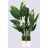 Yapay Ağaç 3 Gövdeli Spatifilyum Barış Çiçeği (Spathiphyllum) 125 cm-2