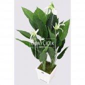 Yapay Ağaç 3 Gövdeli Spatifilyum Barış Çiçeği (Spathiphyllum) 125 cm-3