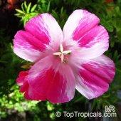 Açelya Çiçek Tohumu Yer Açelyası Godstıa...