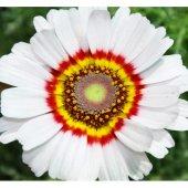 Kasımpatı Çiçek Tohumu 1 (Takribi 20 Tohum)