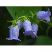 çan Çiçeği Karışık Renk Pk (Takribi 20 Tohum)