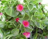 Aptenia Cordifolia Buz Çiçeği 96 Adet Fide