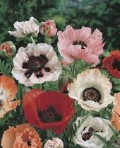 Vilmorin Gelincik Çiçeği Tohumu