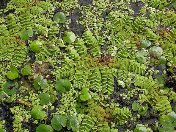 Salvinia natans, akvaryum bitkisi, su üstü bitkisi
