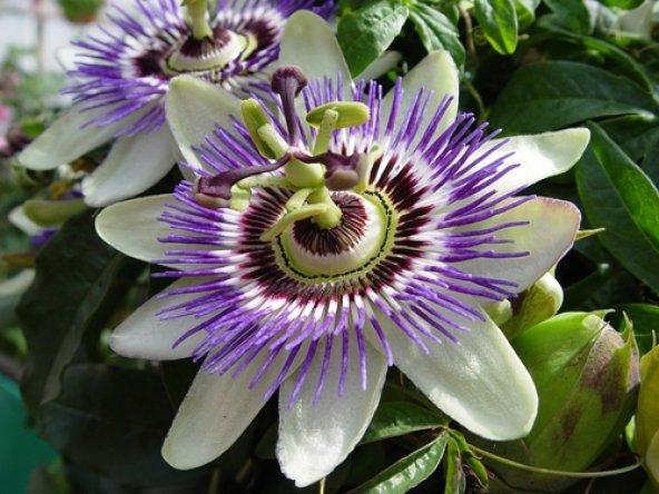 Meyveli passiflora edulis 5 adet tohum