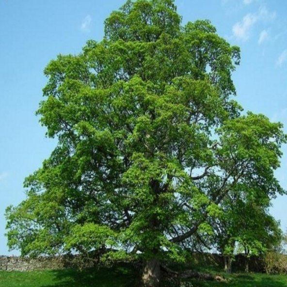 Çınar Ağacı Tohumu (25 tohum)