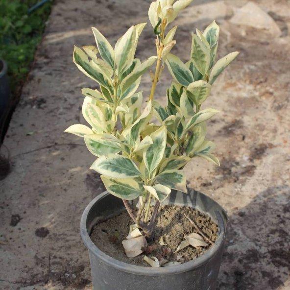 Altuni Taflan (Saksılı 30-40 cm Bol Dallı)