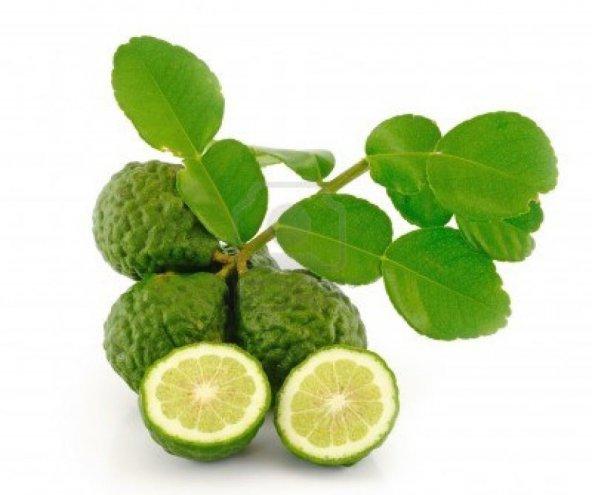 KAFFİR LİME Limon Fidanı NADİR ÇEŞİT 5 YAŞLI TÜPLÜ