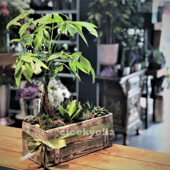 Paçhira bonsai