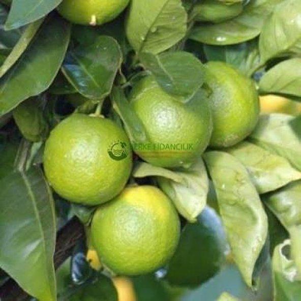 TAHİTİ LİME (Çekirdeksiz Limon) 3 Yaş