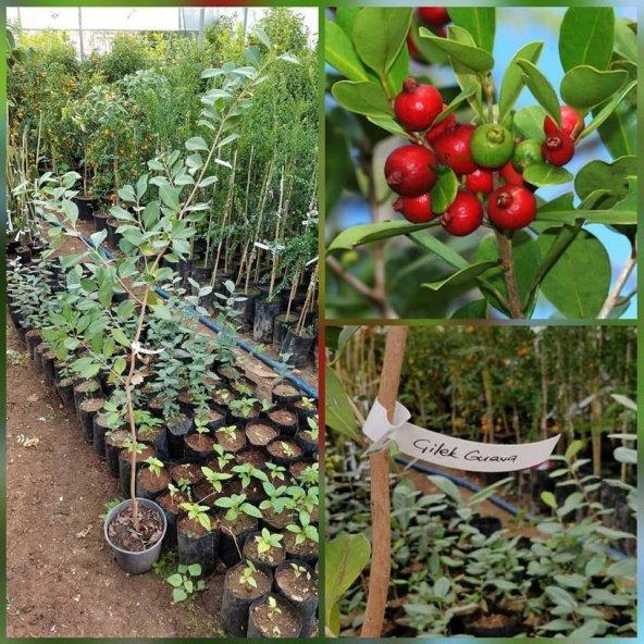 ÇİLEK GUAVA (Strawberry Guava 6 yaş Meyve Verecek Durumda)
