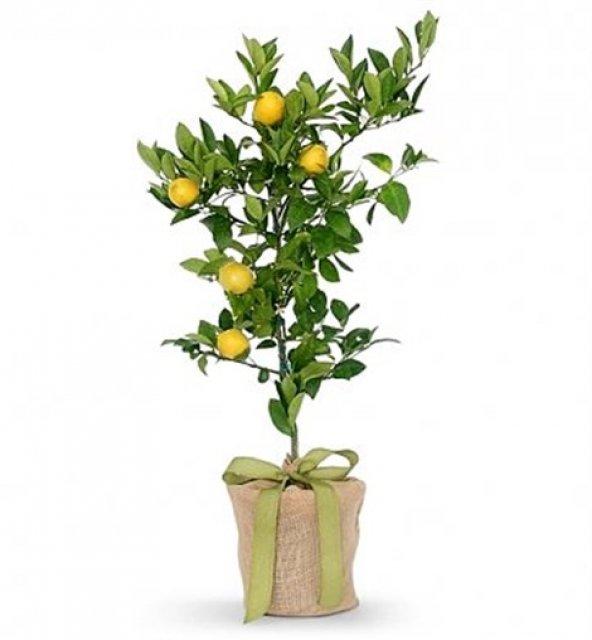 Limon Fidanı / Fidan Yetiştirme Programı