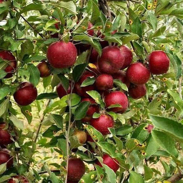 Elma Fidanı ARAP KIZI +130 cm, Saksıda 7 Yaş