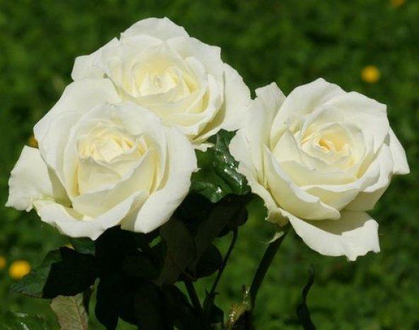 Tüplü Beyaz Renkli  Baston Gül Fidanı