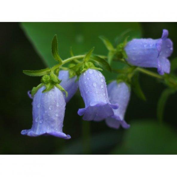 Çan Çiçeği Karışık Renk Pk (~ Takribi 20 Tohum)